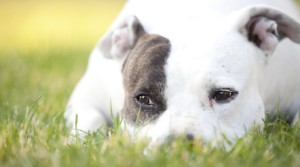 Pit Bulls Labeled as Vicious Dogs