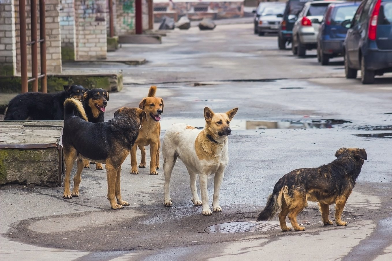 Problems Posed By Stray Dogs Or Street Dogs Include