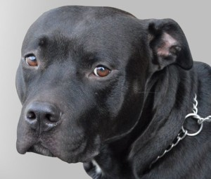 Controversy Over Pit Bull Ban