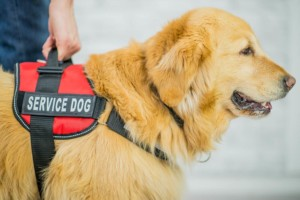 Top 11 Service Dog Breeds